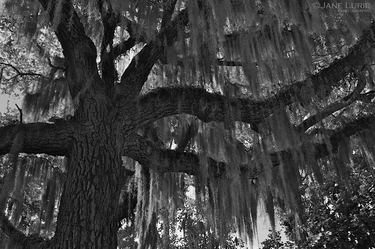 South Carolina, Nature, Oak, Black and White,
