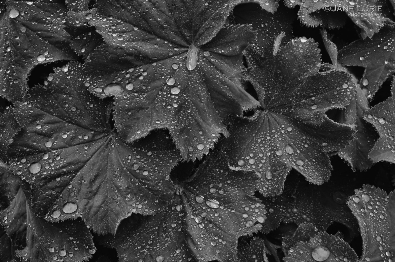 Nature, Macro, Rain, Nikon, Black and White