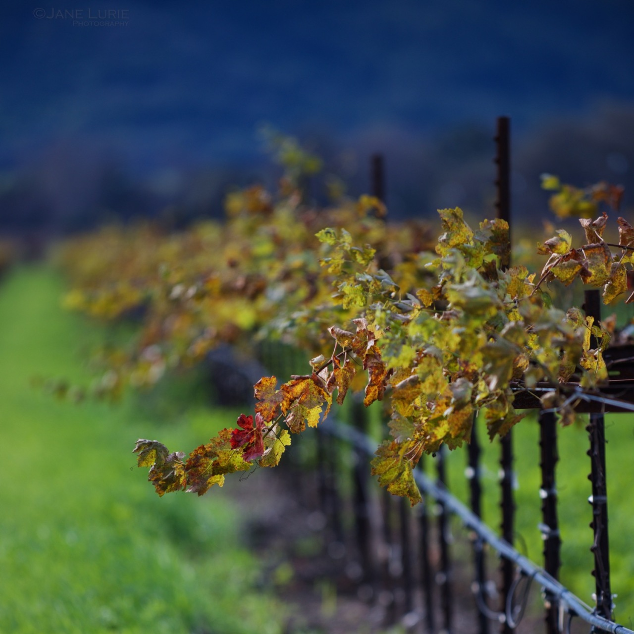 Napa, Vineyard, Grape, Nature, Close-up