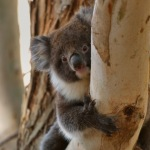 Instagram, Australia, Nature, Koala