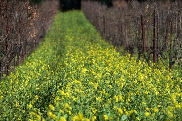 Napa Vineyard and Mustard Seed