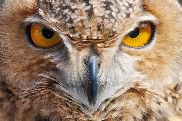 Owl, Close-Up, Bird, Wildlife