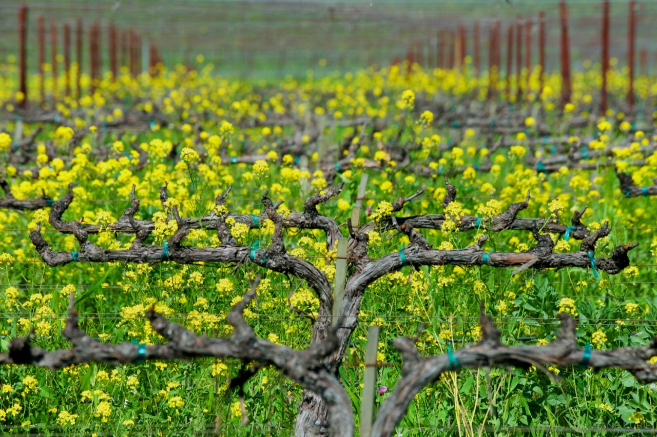 Blooming Mustard, Napa Vineyards