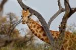 Baby Giraffe, Botswana