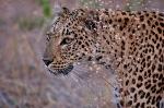 Leopard Eyes, Botswana