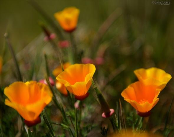 Flowers, California, Close-Up, Nature, Nikon