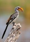 Sitting Pretty, Yellow Billed Hornbill, Botswana