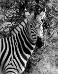 Stripes, Botswana