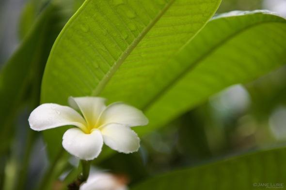 Nature, Close-Up, Macro, Flower, Hawaii, Nikon