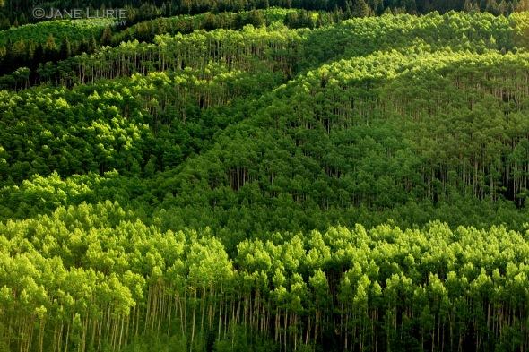 Trees, Aspen, Colorado, Nature, Environment, Landscape