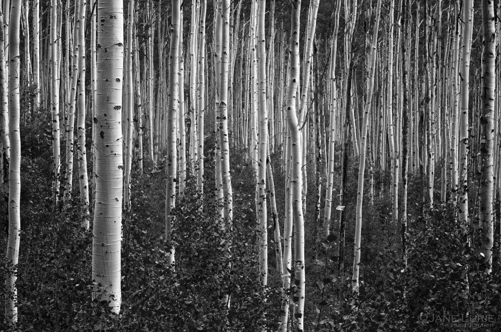Trees, Aspen, Colorado, Nature, Environment,Black and White, Landscape