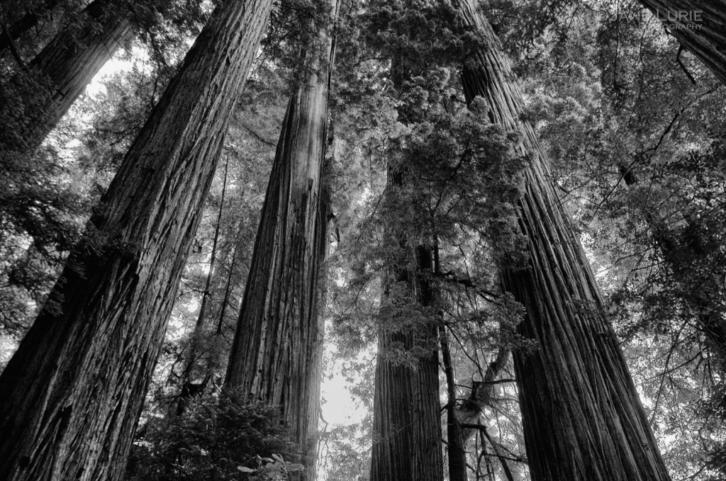 Trees, Redwood, California, Nature, Environment,Black and White, Landscape
