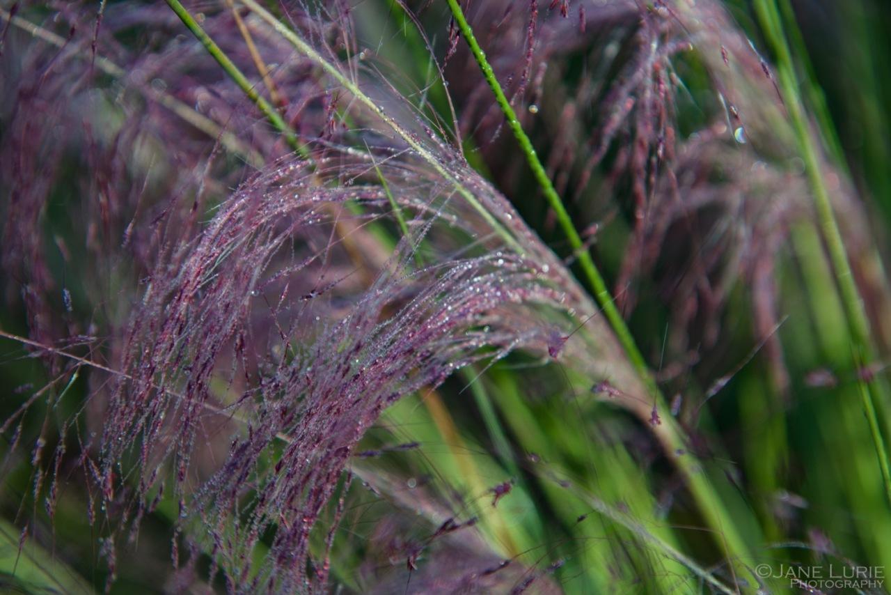 Sweetgrass, Kiawah, Kiawah Island, South Carolina, Nature, Close - up, Macro, Plants, Flowers