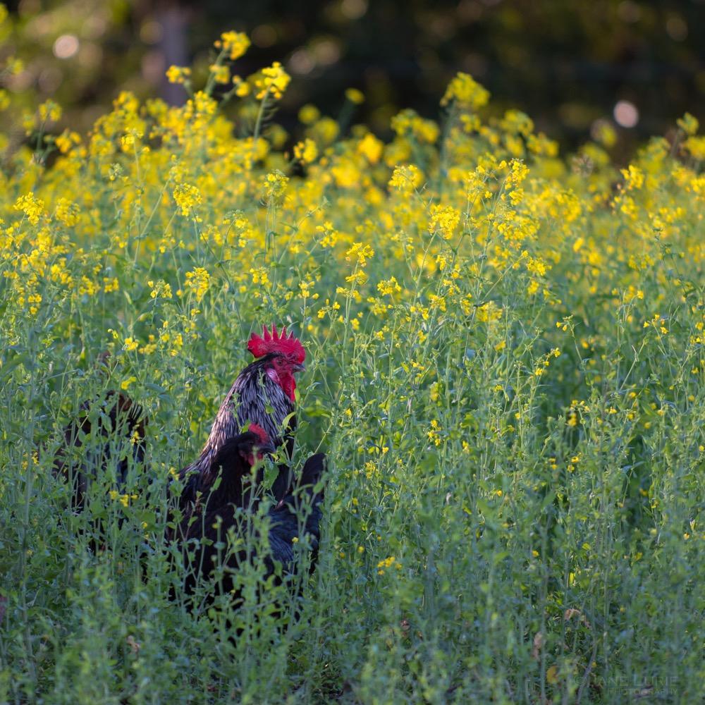 Wine Country, Vineyard, Mustard, Landscape, Nikon, Nature, California, Sonoma, Agriculture,