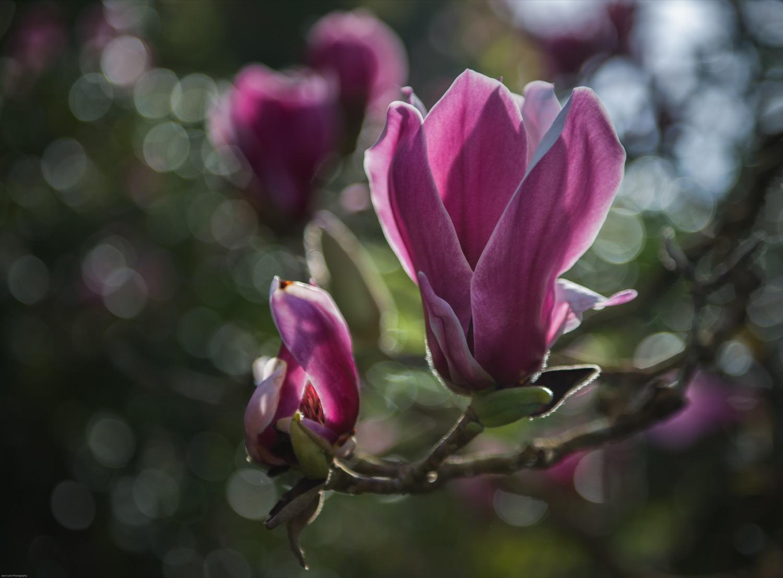 Tulip Tree Bloom Jane Lurie Photography