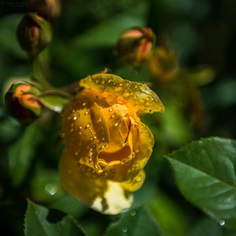 Nature, Close-Up, Macro, Garden, Flowers, San Francisco, California,