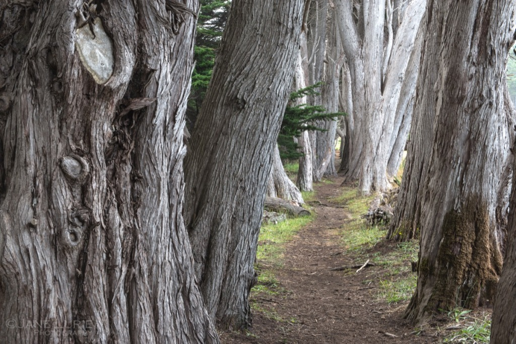 Nature, California, Cypress, Landscape, Path, Nikon, Photography