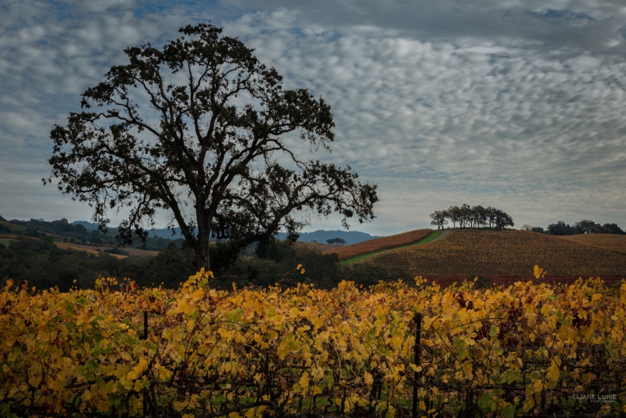 Oak and Vineyard