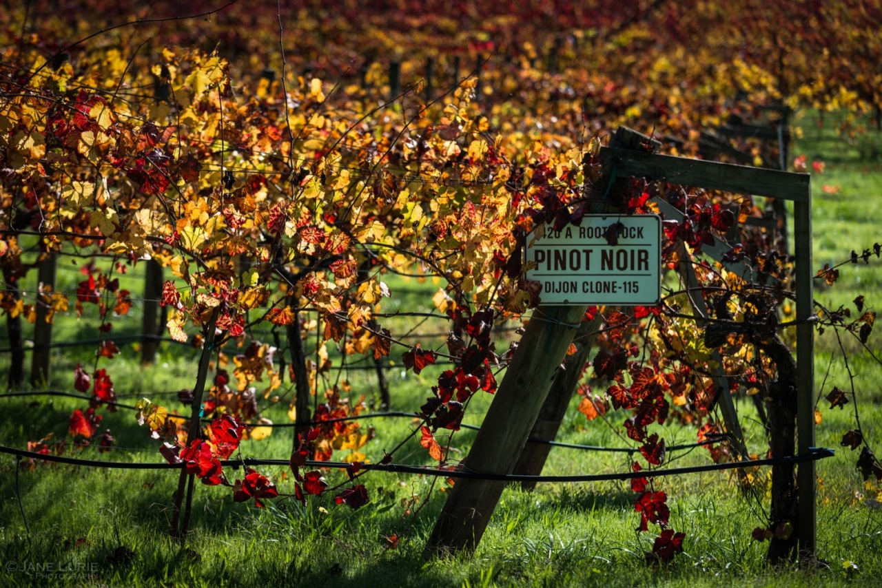 California, Photography, Vineyard, Landscape, Nature, Color,
