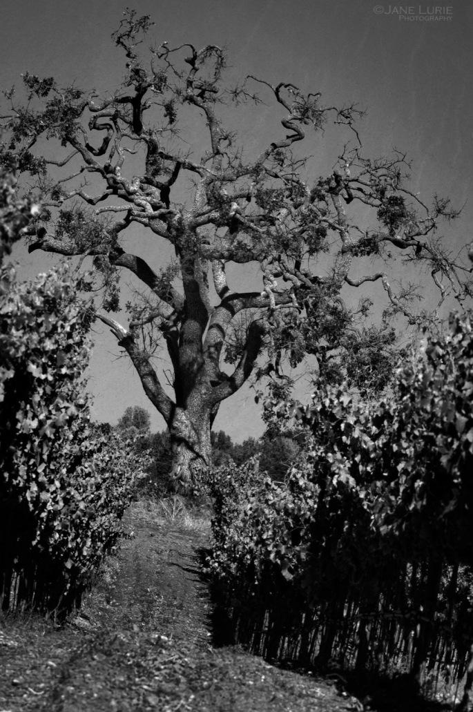 Gnarled Oak and Vineyard