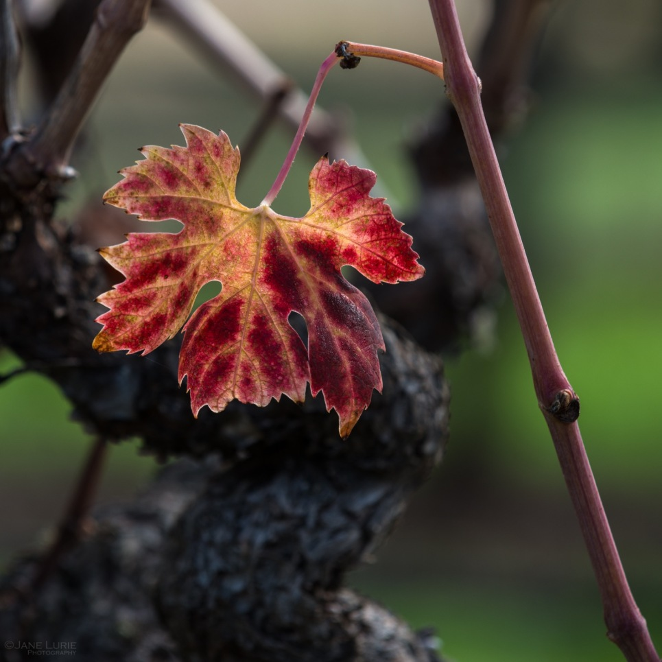 Close-up, nature, vineyard, Nikon