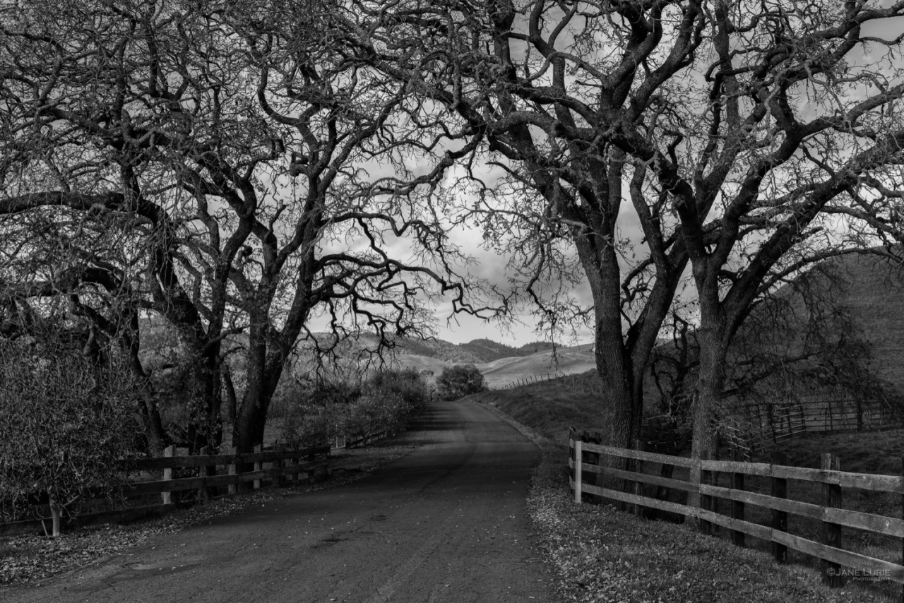 Country Road and California Oaks, Carneros
