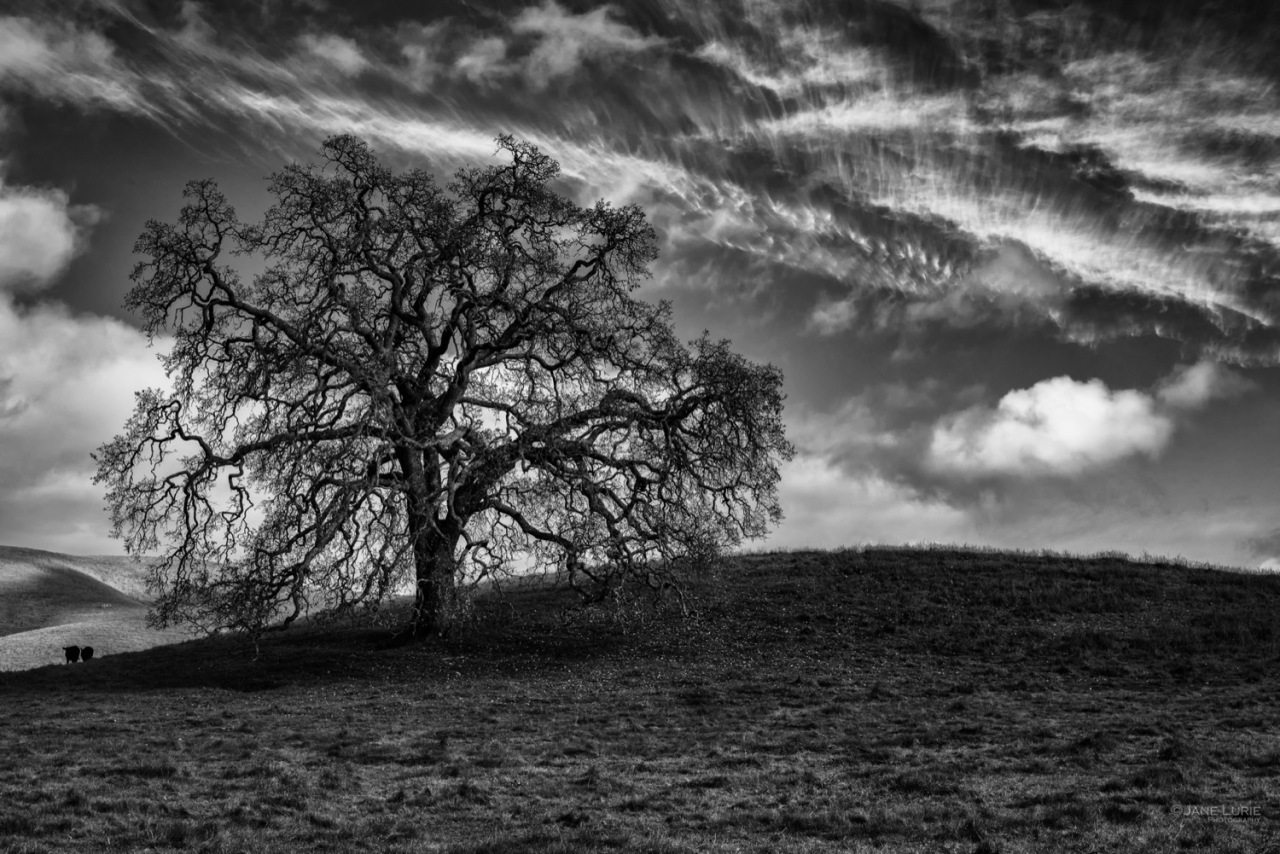Monochrome, Landscape, California, Trees, Rural