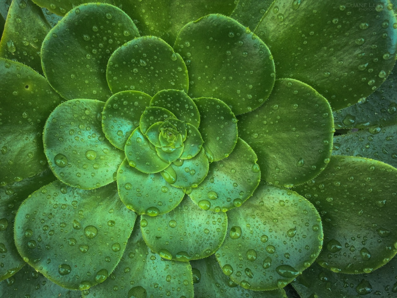 Nature, Close-Up, Rain, Succulent