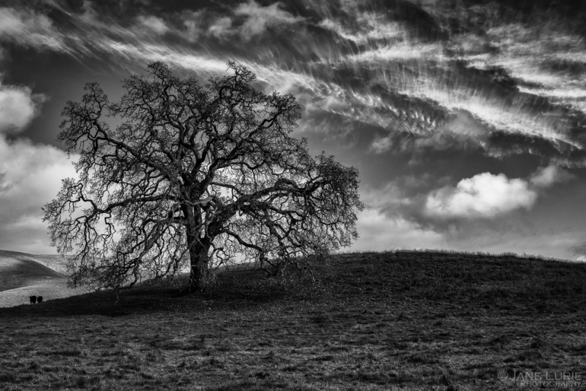 Oak in Winter, Carneros