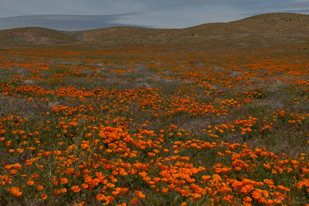 Landscapes, Flowers, Poppies, California, Nature,