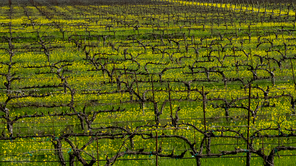 Fujifilm X-T2, Photography, Landscapes, Nature, Mustard, Vineyards, California, Wine country, Farming,