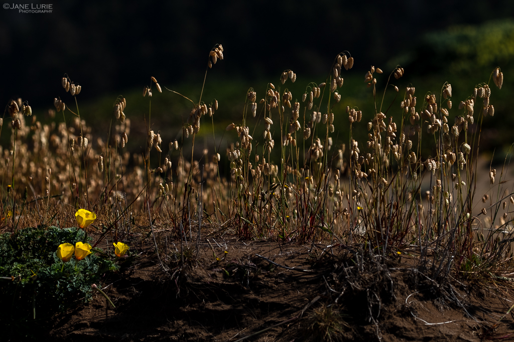 Landscape, Nature, Fujifilm X-T2, California, Coast, Environment, Wildflowers