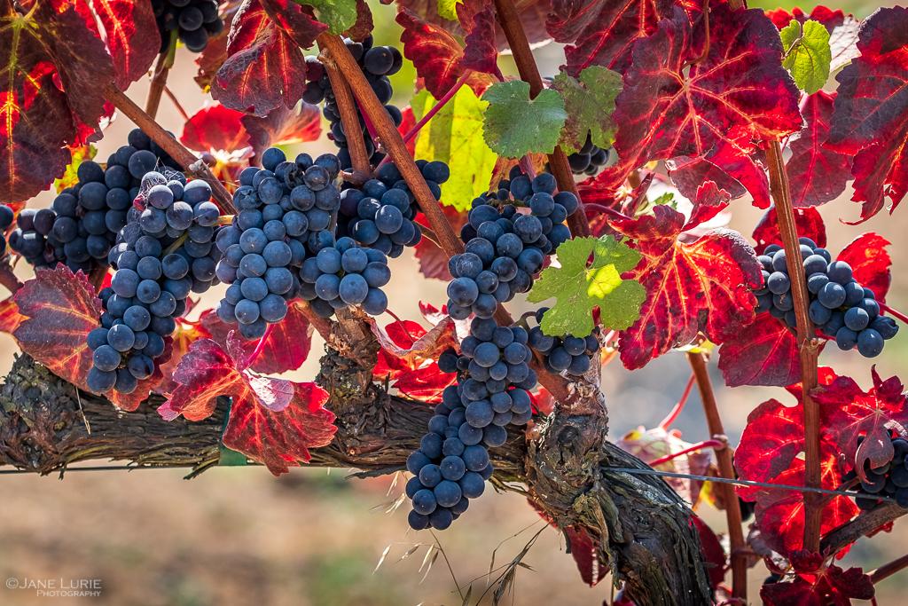 Harvest Time, Sonoma
