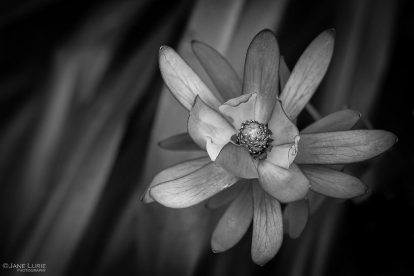 Flower, Close-Up, Fujifilm X-T2, Black and White, Photography