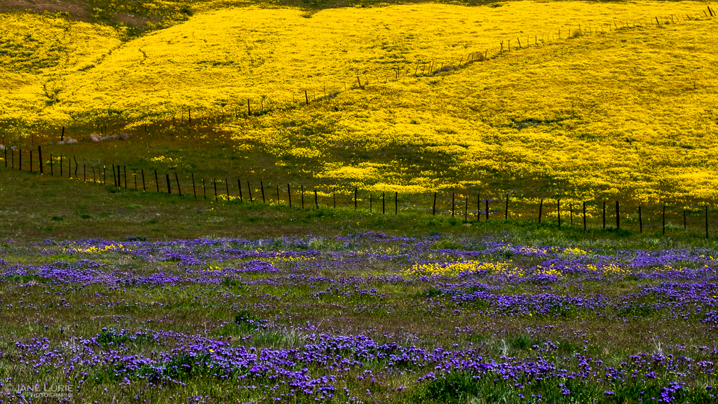 Carrizo Plain Super Bloom II