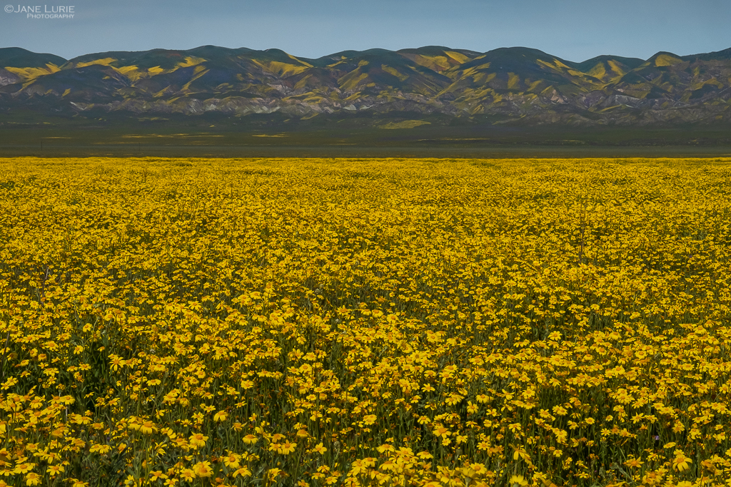 Carrizo Plain National Monument Super Bloom