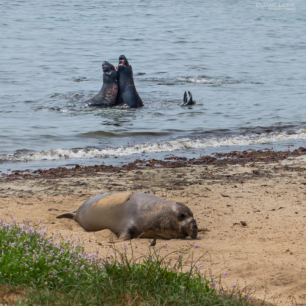 Elephant Seals, Nature, Photography, California, Environment, Preservation, Conservation,