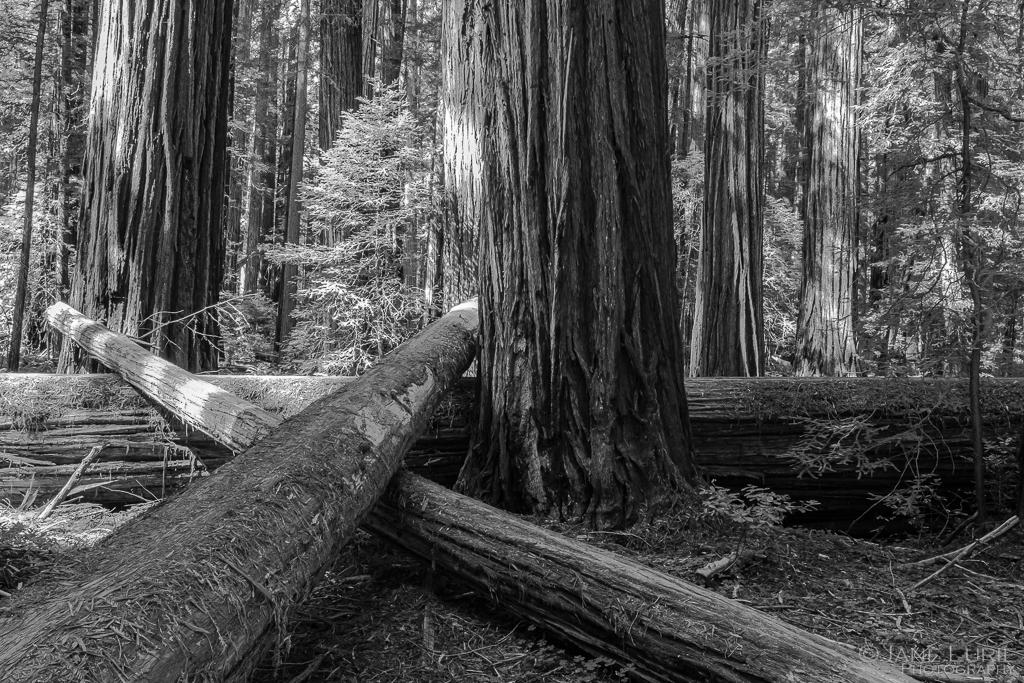 Redwoods, California, Nature Photography, Fujifilm X-T2