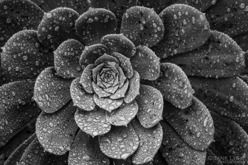 Succulent In Rain