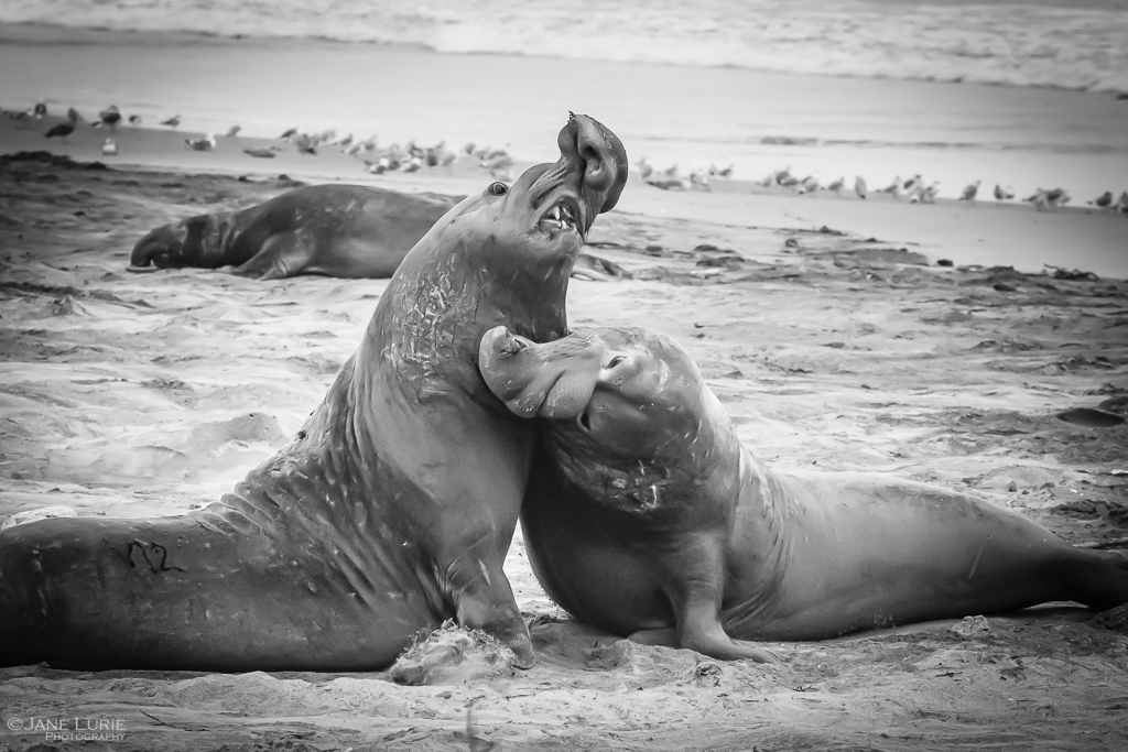 Elephant Seals Battling, Point Reyes