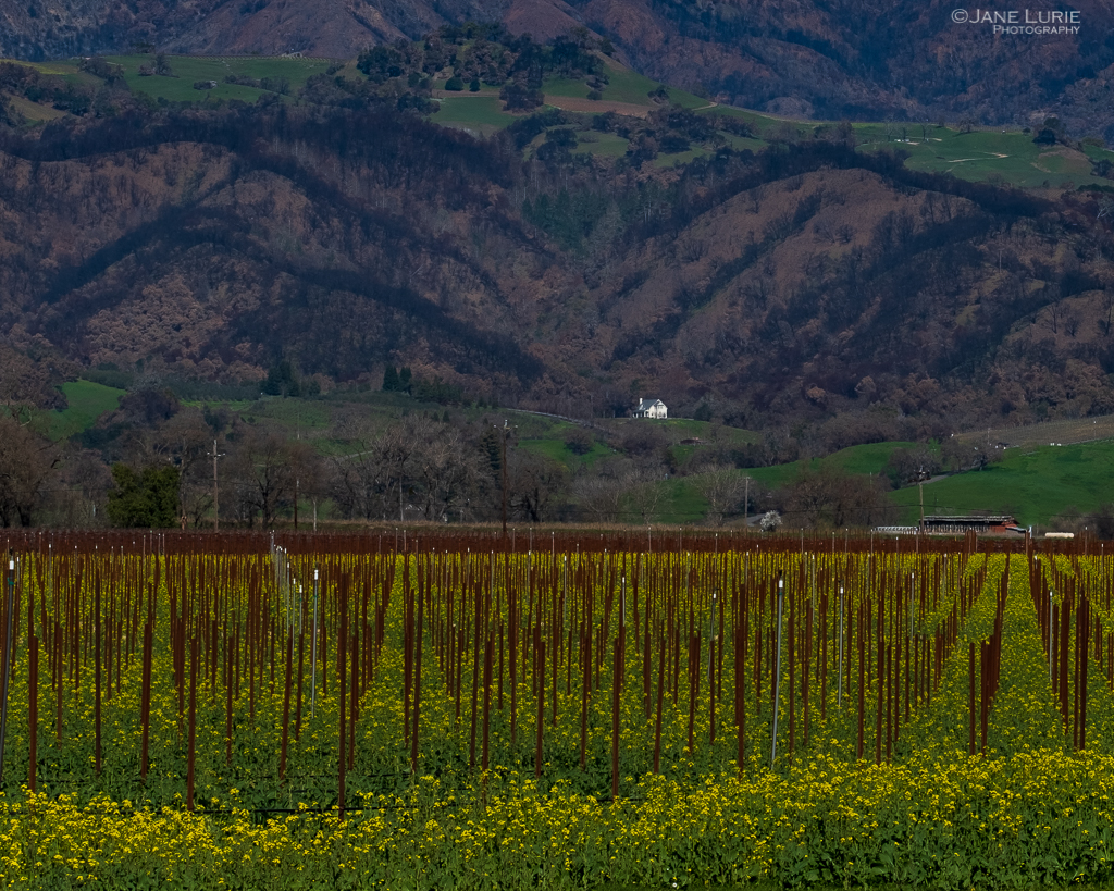 Landscapes, Photography, California, Wine Country, Mustard, Vineyards, Fujifilm XT-2
