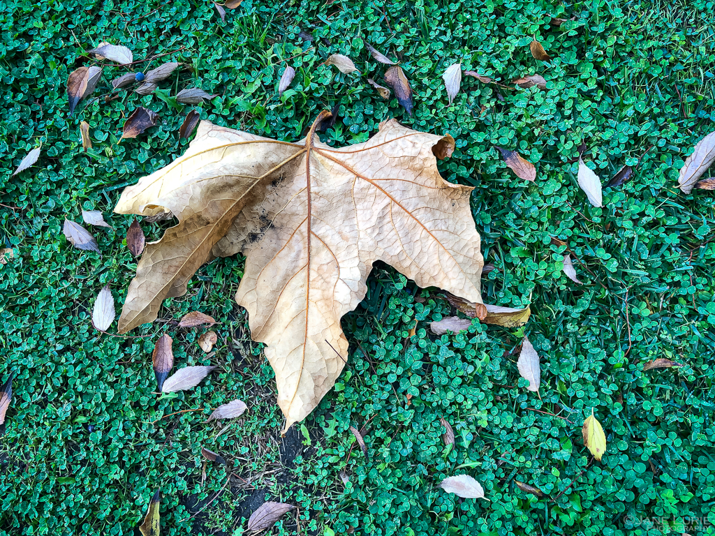 Autumn, Close-Up, Photography, California, Leaves, Trees, Pasadena, Ginkgo, Dew