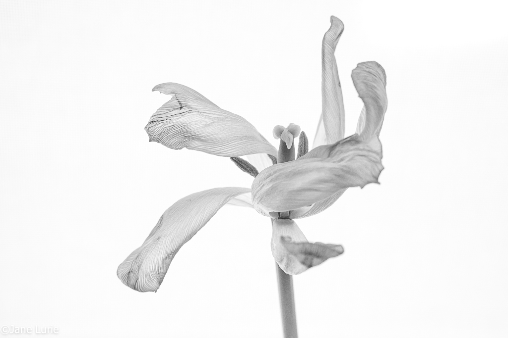 Flowers, Photography, Tulips, Fujifilm X-T2, Close-up, Black and White, Color,