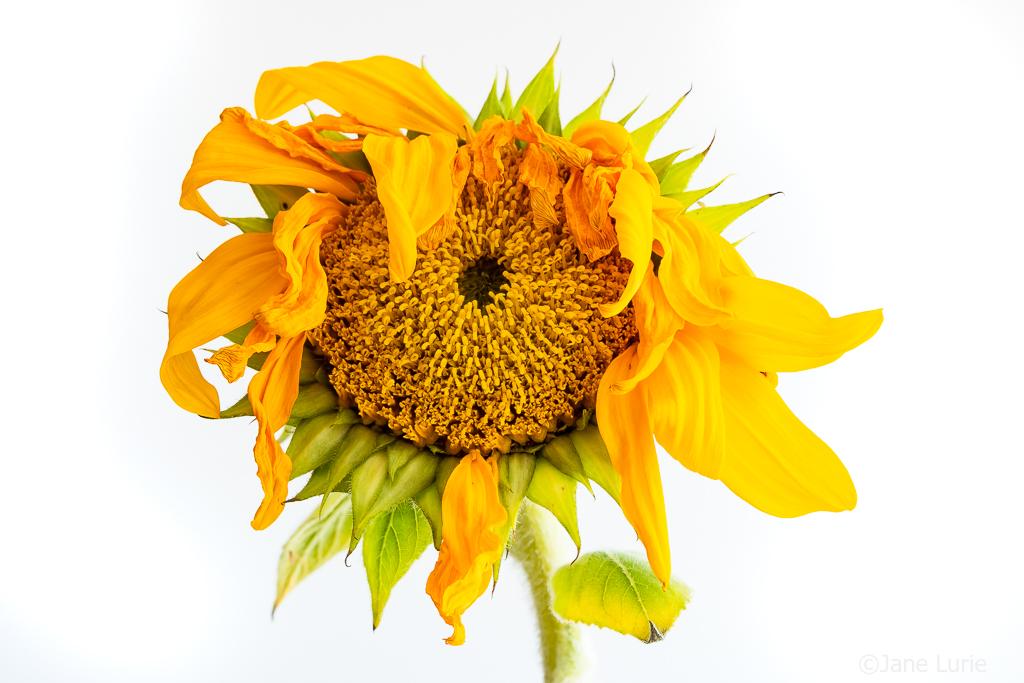 Farewell, Sunflowers
