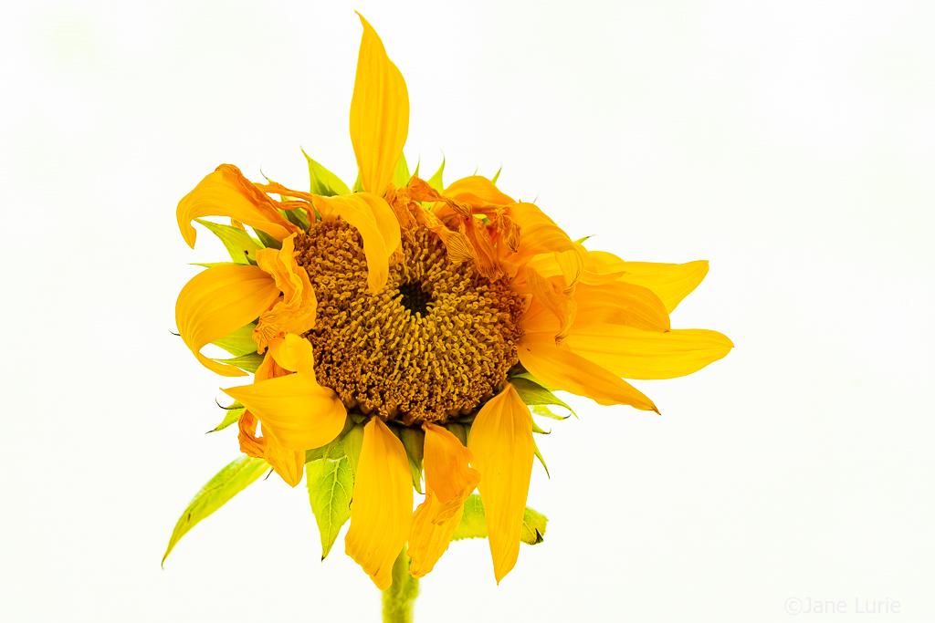 Fujifilm X-T2, Sunflowers, Flowers, Macro, Close-Up, Photography, Nature