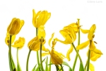 Tulips, Yellow, Dead Flowers, High Key, Fujifilm X-T2, Photography