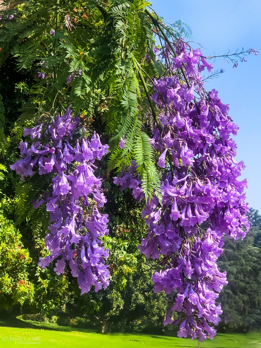 Jacaranda, Tree, Purple, Photography, California, Nature, iPhone, Photography